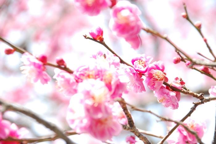 cerisiers-en-fleurs-matsuyama2